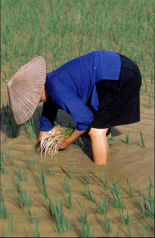 sazeni ryze-zena v modrem-Hagiang